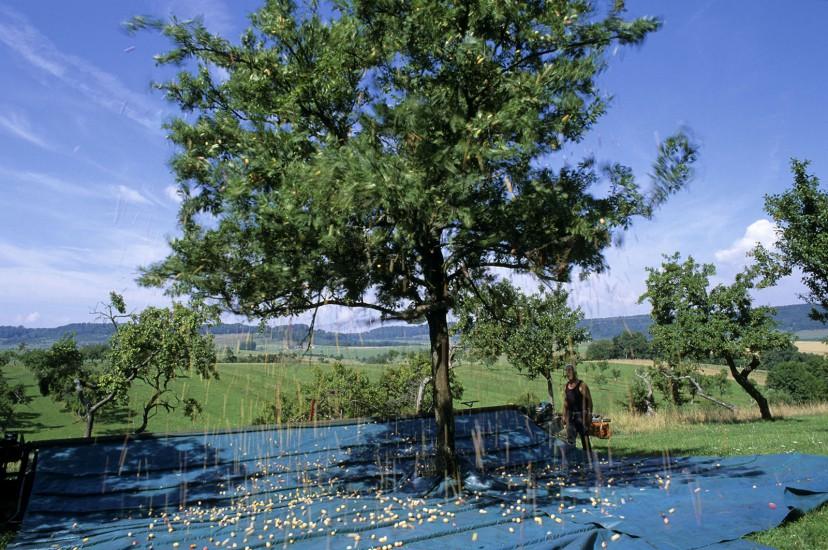 Sur la route de la mirabelle. Fin août, Nancy et sa région se couvrent d'un voile doré, quand de petites prunes rondes et blondes inondent jardins et vergers. La mirabelle, l'or de Lorraine, donne l'occasion d'une échappée gourmande, à la découverte d'un terroir rural et verdoyant. (60 photos) Voir le reportage sur Divergence-Images