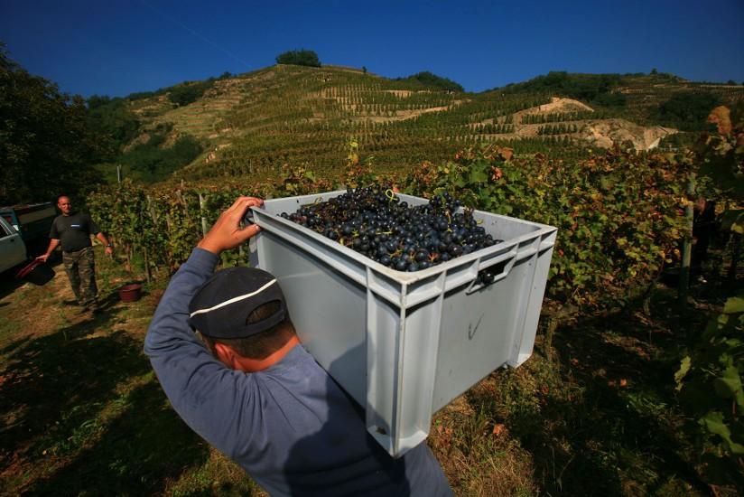 Rhône - Côte Rotie -  Condrieu et Ampuis, vignoble de l'AOC Côte Rotie, vendange manuelle de la vigne Voir le reportage sur Divergence-Images