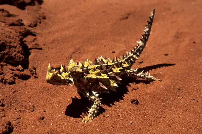 Moloch épineux du désert australien