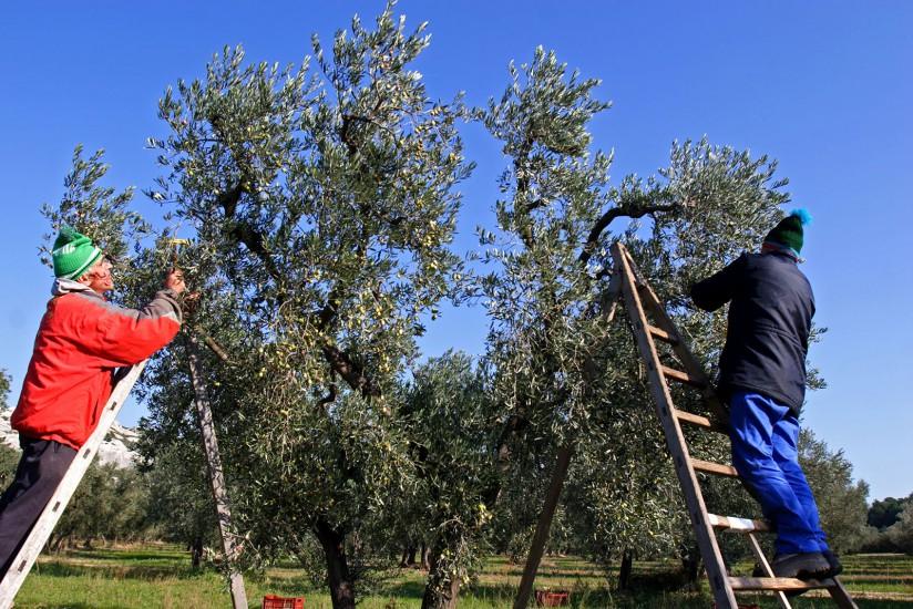 Verte vallée des Alpilles. A la fin de l'automne, le soleil vient réchauffer chaque matin les oliviers de la plaine des Baux-de-Provence, au coeur des Alpilles. Balade sur les... (160 photos) Voir le reportage sur Divergence-Images